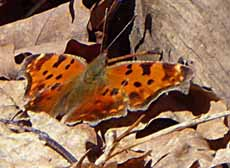 Photo of Green Comma butterfly with wings spread