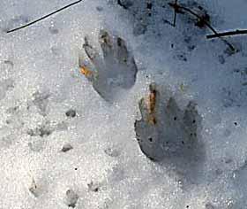 Photo of Raccoon footprints in snow
