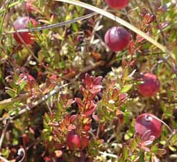 Photo of Large Cranberries growing on a floating bog