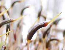 Photo of Crispy Starburst Moss capsules (Atrichum crispum)