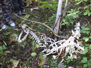 Photo of deer skeleton in woods