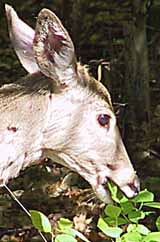 Photo of a White-tailed Deer eating readily accessible food