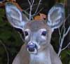 Photo of White-tailed Deer focusing eyes, ears, and nose on threat