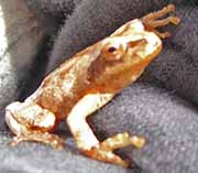 Photo of Spring Peeper