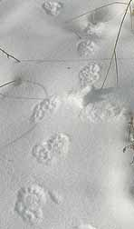 Photo of Fisher tracks on snow