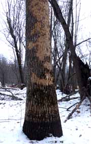 Photo of tree, home of Flooded Jellyskin, killed by EAB