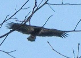 Photo of Golden Eagle in flight