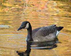 photo of Canada Goose in golden reflections