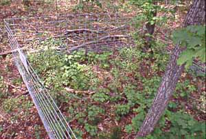 Photo showing that deer exclosure protects saplings