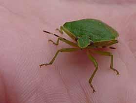 photo of Green Stink Bug (Acrosternum hilare)