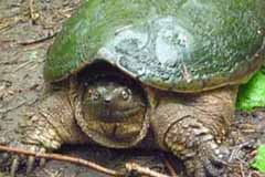 Photo of big Snapping Turtle