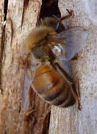 Photo of Honey Bee