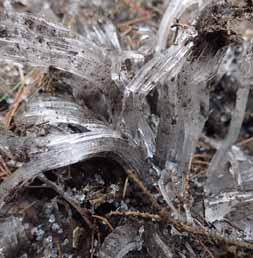 Photo of brush ice crystals