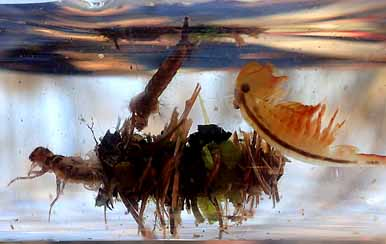 Photo of caddisfly and mosquito larvae with Fairy Shrimp