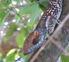 Photo of Knight Gecko