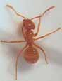 Photo of mound-building swamp ant lasius minutus