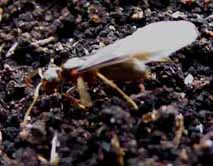 Photo of winged Lasius minutus queen