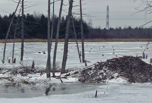 Photo of beaver lodge surrounded by new ice