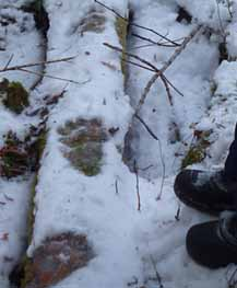 Photo of bear tracks in the snow