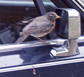 Photo of Robin staring into a car's side mirror