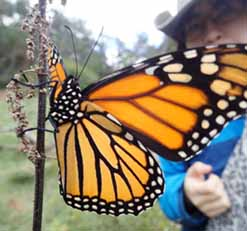 Photo of girl approaching Monarch butterfly
