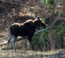 Photo of young bull moose
