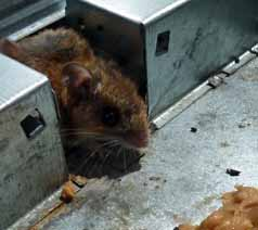 Photo of mouse in live-trap