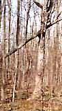 Photo of landmark and Study Tree Maple Cross