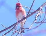 Photo of male Purple Finch