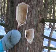 Photo of fresh Pileated Woodpecker holes in Eastern White Cedar