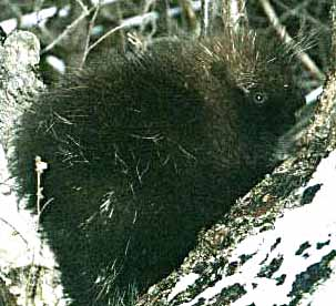 Photo of a porcupine