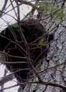 Photo of Porcupine climbing tree