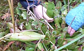 Photo of hand reaching for Pitcher Plant