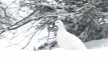 Photo of Willow Ptarmigan in winter plumage