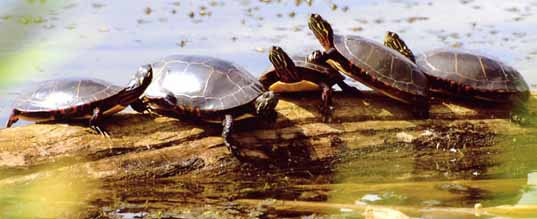 Photo of five Painted Turtles on a log