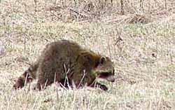 Photo of a raccoon