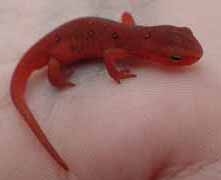 Photo of Red Eft in hand