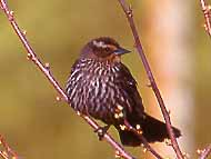 Photo of female Red-winged Blackbird