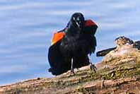 Photo of male Red-winged Blackbird