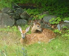 Photo of twin White-tailed Deer fawns resting