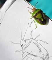 Photo of green Stinkbug