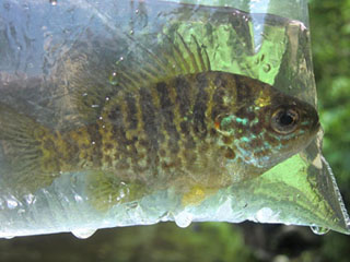 Photo of Pumpkinseed sunfish in a bag