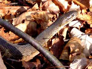 Photo of a Water Snake on land
