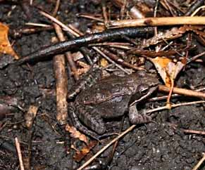 Photo of Wood Frog on forest floor stripped of leaves by invasive earthworms