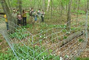 Photo showing Trilliums confined to deer exclosure
