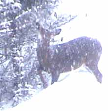Photo of a White-tailed Deer reaching higher for food