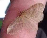 Photo of a Winter Moth on a thumb