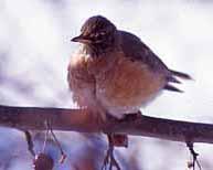 Photo of American Robin in an Ottawa winter