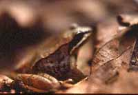 Photo of Wood Frog